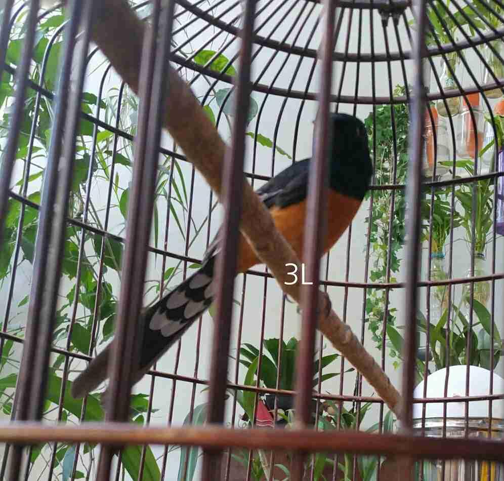 Burung Murai Batu Dan Area Penyebarannya