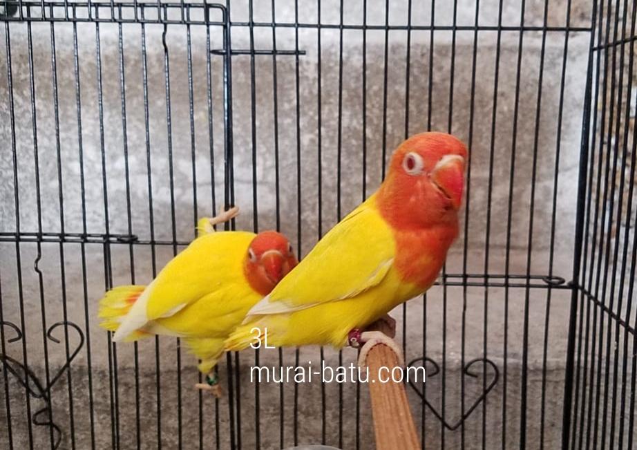 Mengenal Jenis Lovebird
