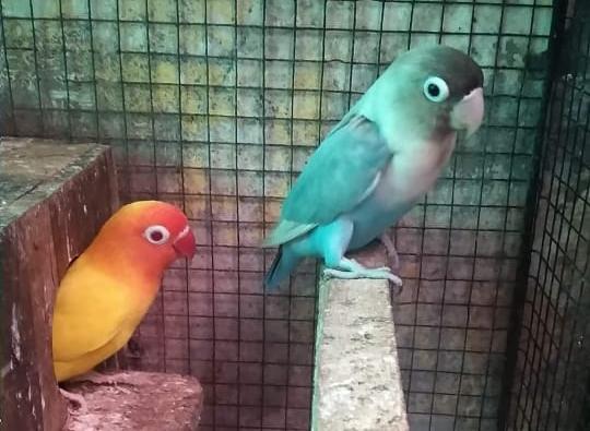 Cara Menjodohkan Lovebird Secara Efektif